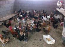دجاج بلدي و فيومي