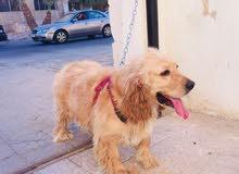 كلب كوكر سباينل