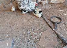 دجاجة فولي + 9كتكوت فولي مع زهري عربي