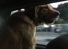 كلبة جولدن ريتريفر