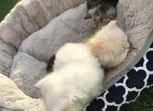 قطط شيرازي وشيرازي هاف بيكي فيس