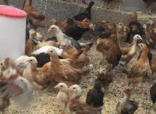 صوص دجاج + فراريج للبيع
