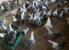 دجاج بلدي فيومي للبيع