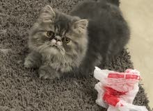 Cats : Kittens for Sale in Kuwait