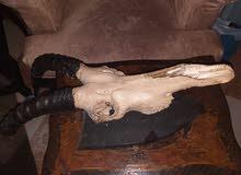 رأس غزاله جاموس للبيع بسعر مناسب