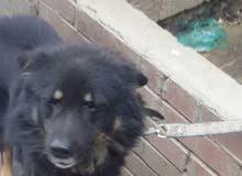 كلب هجين روت وايلر وهاسكي