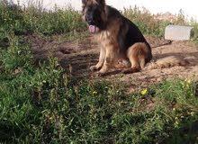 Long Hair German Shepherd