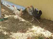 chickens each for 150 or lower can discuss  يمكن الدجاج لمدة 150 أو أقل مناقشكل1