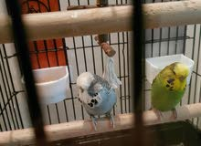 ENGLISH BUDGIE BIRDS BUGGEST SIZE
