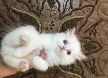 قطة عمر 50 يوم