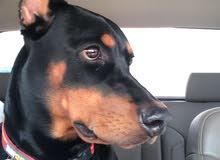 ابحث عن دوبرمان ذكر لتلقيح كلبتي (عزكم الله)