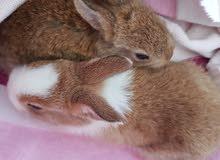 أرنب عمر شهر