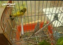طيور بادجي زوجيين الوان مختلفه مع القفص والمبياض للبيع