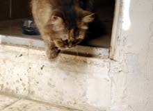 قط هملاي