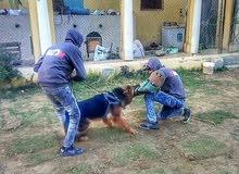 كابتن عمرو حركه مدرب الكلاب
