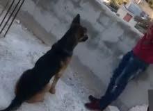 كلب جيرمان ذكر للبيع