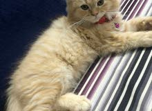 قط للبيع العمر 3 شهور شيرازي بصحه ممتازة ولعوب