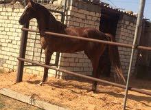 حصان أشقر تلات ارباع