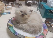 قطط هيمالايا بيور 45 يوم