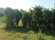 أشجار زينة بنجامينا زرقاء أطوال و احجام