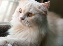 للبيع قطه من النوادر فيس مون