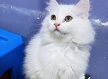 قطة شيرازي انثى الوصف مهم