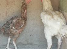 ديج هندي معه دجاجته