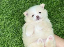 Beautiful Pomeranian