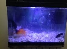 حوض سمك كبير مع السمك 140ريال