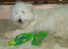 كلب لولي جيرفون اوف وايت