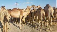 جعادين صوماليه للبيع