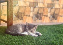 قطة للبيع / Cat for Sale