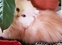 قطط شيرازي اصل