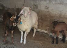 خروف وزن 28 إلى 30 كغ صافي