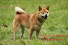 اكل كلاب صحى ومراقب بيطريا