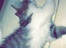 قطة صغيرة انثى عمرها شهرين ونص