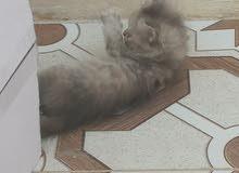 قطه انثى للبيع