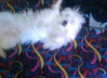 كلب جريفون عندو 9 شهور