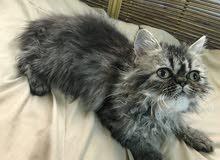قطه بيكي فيس رمادي شهرين