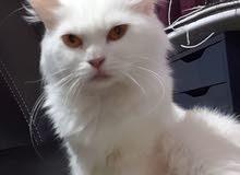 قطة شيرازية بيضة عمرها سنة و نص