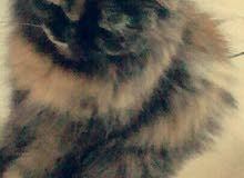 قطط شيرازي  للبيع العاجل 800 الإثنين
