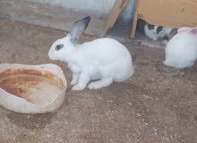 أرانب للبيع فرنسي بلدي في جبل النصر حي عدن