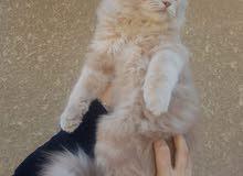 محتاجه مثل هذا القط الي عنده يراسلني