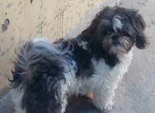 كلب شيتزو العمر سنة الجنس انثى محصنه من الامراض