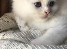 قطط شيرازي فارسي بيضاء للبيع