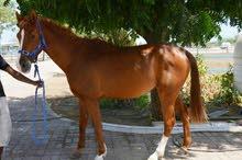 مطلوب خيول بوني للشراء جميع الاعمار