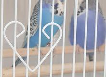 زوج طيور بادجي انجليزي