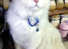 قط شيرازي .ذكر...للتزاوج فقط