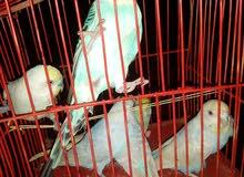 عصافير دبل فاكتر