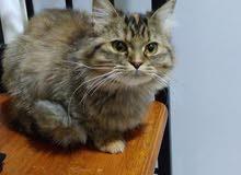 قطة انثي شيرازي الأصل الام والاب شيرازي